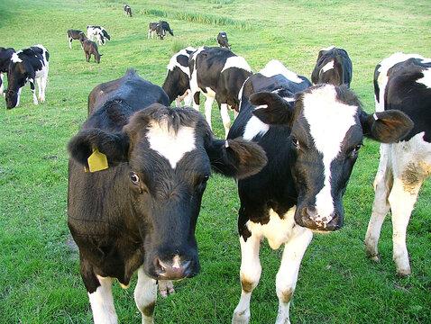 Welsh Cattle Herd