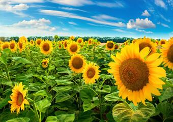 Sunflower field in day