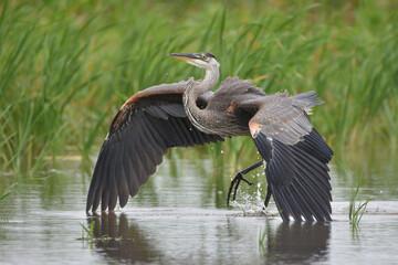 Great Blue Heron landing in marsh