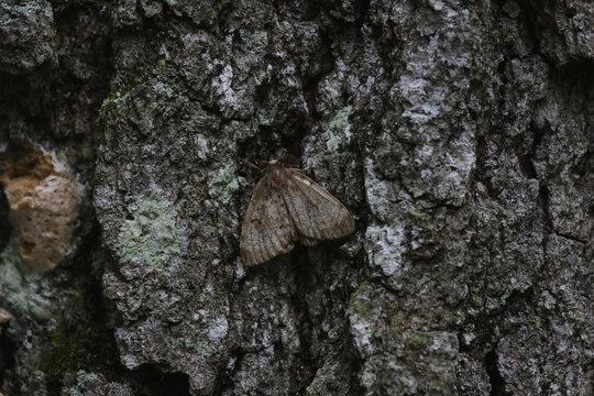 A male Gypsy Moth (Lymantria dispar dispar), shot in Turkey Point Provincial Park, Ontario, Canada.
