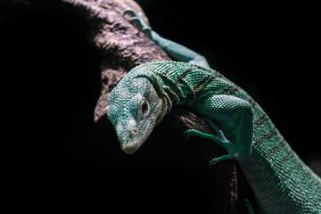 Emerald tree monitor, Varanus prasinus closeup reptile portrait. Wall mural