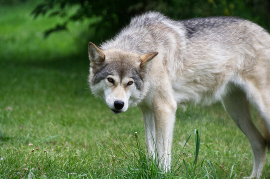 A Mid to High Wolfdog in the Grass