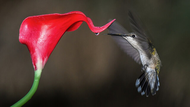 A Female Ruby-Throated Hummingbird Approaches a Drop of Nectar on a Red Calla Lily