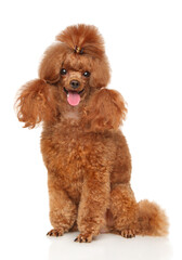 Wall Mural - Groomed red dwarf poodle