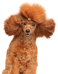 Wall Mural - Close-up portrait of red dwarf Poodle