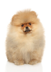 Wall Mural - Pomeranian Spitz puppy sits on a white background