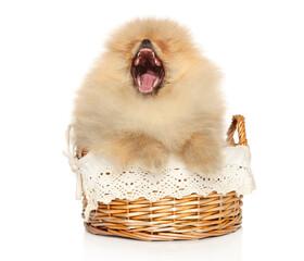 Wall Mural - Pomeranian puppy yawns sitting in a wicker basket