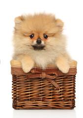 Wall Mural - Cute Pomeranian Spitz in wicker basket