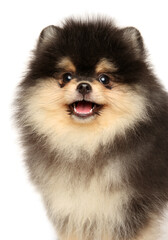Wall Mural - Close-up of a happy Pomeranian puppy