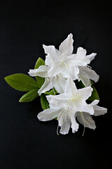 white azaleas flowers isolated on black background . Royal azalea blossom .
