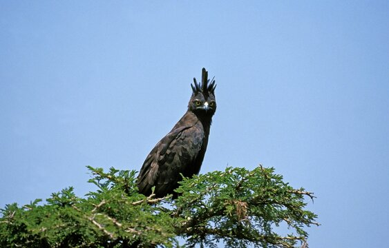 Long Crested Eagle, lophaetus occipitalis, Adult perched on Tree, Masai Mara Park in Kenya