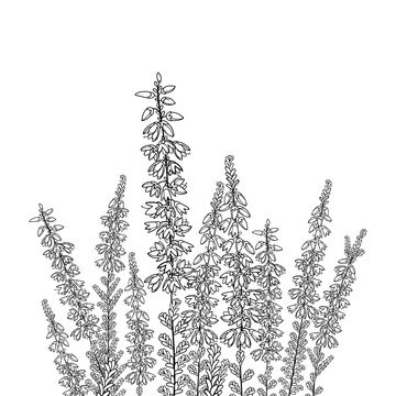 Field with outline Heather or Calluna flower with bud and leaves in black isolated on white background.
