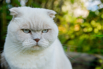 Funny portrait of short-haired domestic white kitten on green backyard background. British cat walking outdoors in garden on summer day. Pet care health and animals concept.