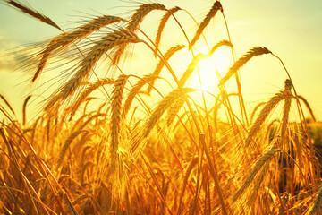 Wheat field. Ears of golden wheat close up. Beautiful Nature Sunset Landscape.