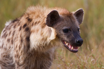 Wall Murals Hyena Spotted Hyena in the wild (Crocuta crotuta)