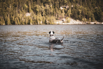 Dalmatian puppy swimming in lake water in summer