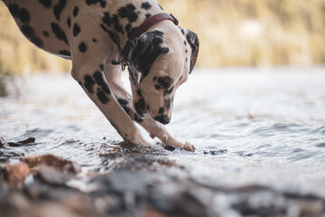 Young dalmatian puppy playing in lake water in summer