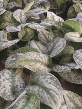 Close up on heart-shaped, blue-green leaves and silvery leaves of Silver pothos plant (Scindapsus pictus)