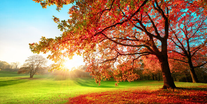 Sunny park in glorious autumn colors, with clear blue sky and the setting sun, a vast green meadow and a majestic oak tree with red leaves in the foreground