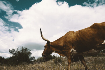 Wall Mural - Texas longhorn cow with large clouds in background on farm, walking through rural countryside pasture.