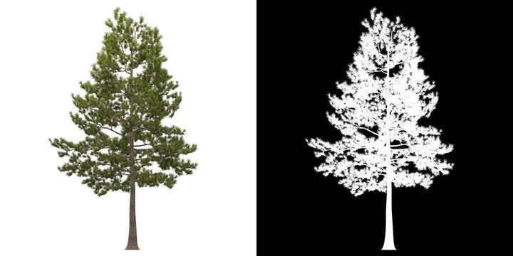 Front view of tree (Loblolly Pine) png with alpha channel to cutout 3D rendering. For forest and nature compositing.