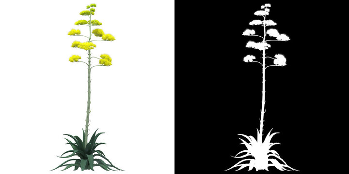 Front view of tree (Agave Americana) png with alpha channel to cutout 3D rendering. For forest and nature compositing.