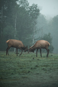 Wild male deer standing on green meadow in woods and fighting with antlers during foggy morning