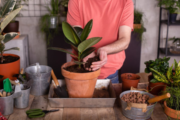 Mature man filling rubber fig pot with dirt in plant nursery