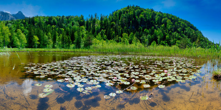Germany, Bavaria, Fussen, Water lilies growing onÔøΩlakeshoreÔøΩinÔøΩSchwansee Park