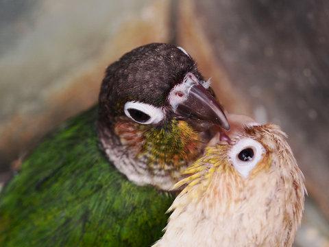 키스하는 앵무새 커플