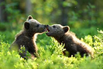 brown bear cubs playing in the summer forest