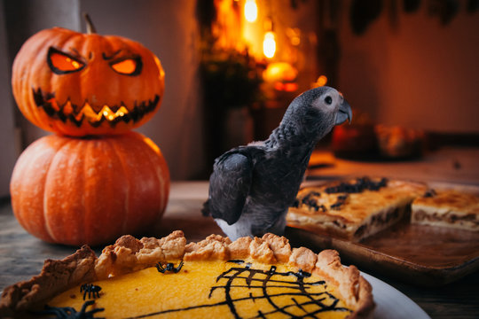 Happy Halloween. African Grey Parrot baby with a pie and pumpkins