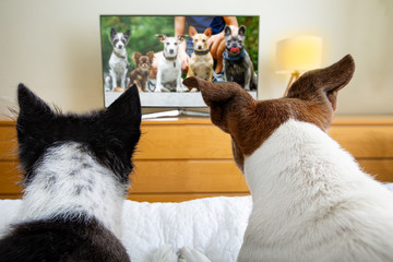couple of dogs watching tv