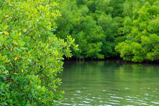 Palétuvier sur l'eau, mangrove