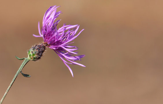 Purple flower head of spotted knapweed, Centaurea maculosa