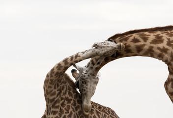 Wall Mural - A pair of Giraffes courtship display