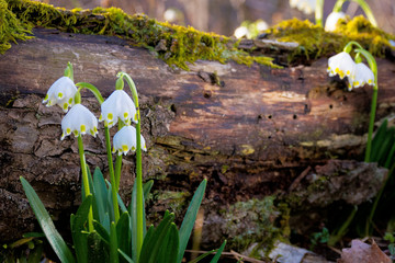 snowflake flower near the log. spring nature background in forest