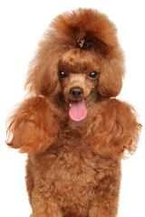 Wall Mural - Close-up of a Red Toy Poodle