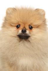 Wall Mural - Close-up of Pomeranian Spitz puppy