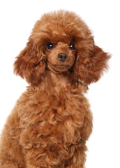 Wall Mural - Portrait of a young Toy Poodle puppy