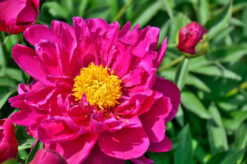 Spoed Foto op Canvas Roze Beautiful pink Peony flower (Paeonia suffruticosa) close up with bud and green leaves on flowerbed in the garden. Beauty of nature, floriculture, gardening or landscaping concept