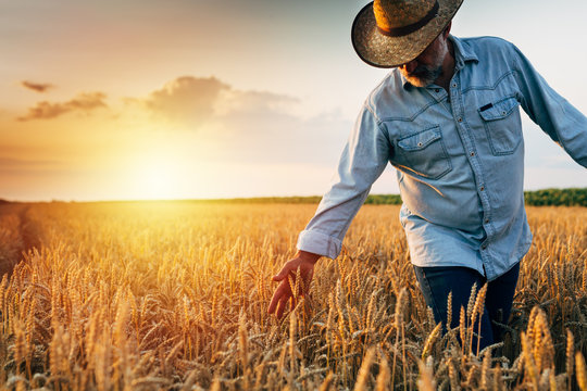 farmer walking through wheat field, sunset scene