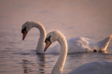 two swans in the lake