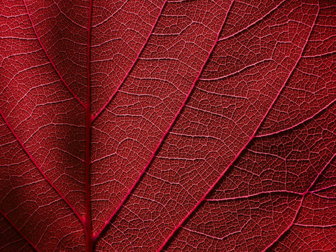 macro red leaf with line of vein texture