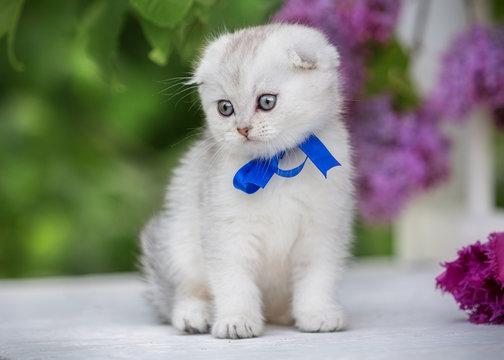 Little fold kitten sits on a background of flowers