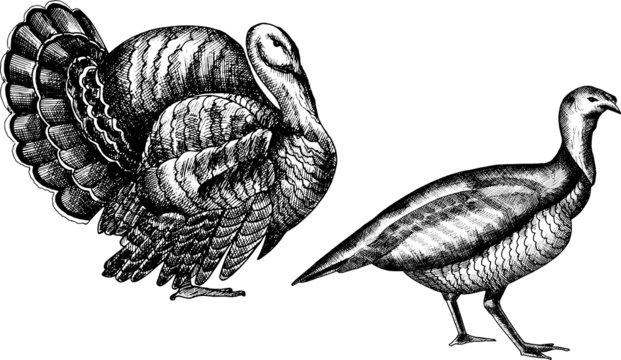 Monochrome hand drawn vector turkey illustration.