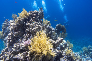 Underwater diving in Red Sea. Divers behind the coral reef in clear blue water, deep in the ocean. Active entertainment at the tropical resort. Beautiful colorful aquatic life. Wall mural