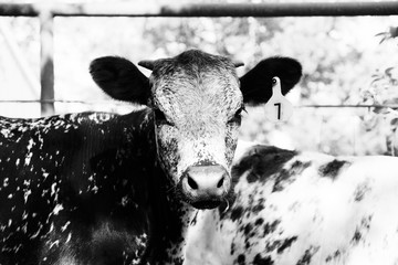 Wall Mural - Cute young speckled cow in black and white close up.
