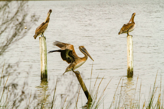 three Brown Pelicans, one with wings spread, perched on posts in Mobile bay,  near Mobile, Alabama.