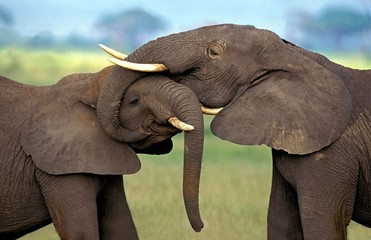 Fototapeta African Elephant, loxodonta africana, Immatures playfighting, close-up of heads, Kenya